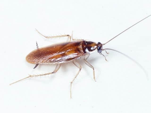 Что отпугивает тараканов в квартире