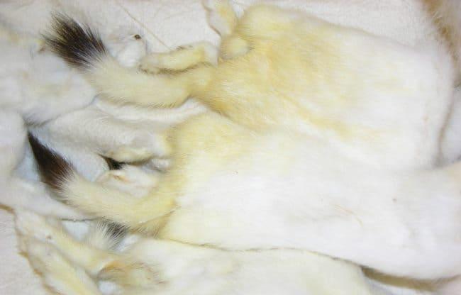 Белая норка со временем желтеет и теряет свою красоту