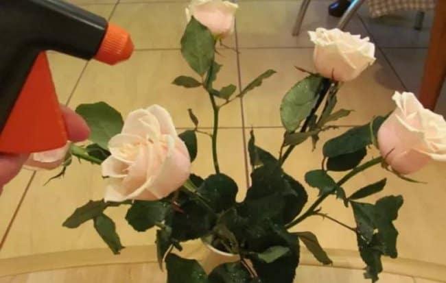 Срезанные розы рекомендуется опрыскивать после каждого обновления воды