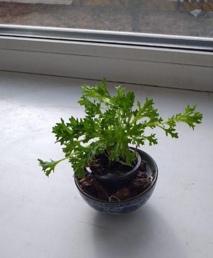 фриллис вырос из корневища